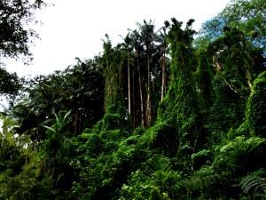 Maunawili Falls Foliage